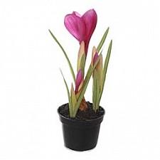 Растение в горшке Home-Religion (21 см) Крокус 58021400