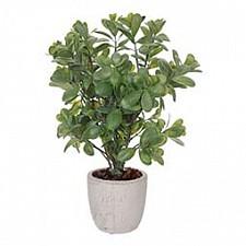 Растение в горшке Home-Religion (42 см) Самшит 58006400